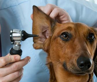 Ear Hematoma In Dogs