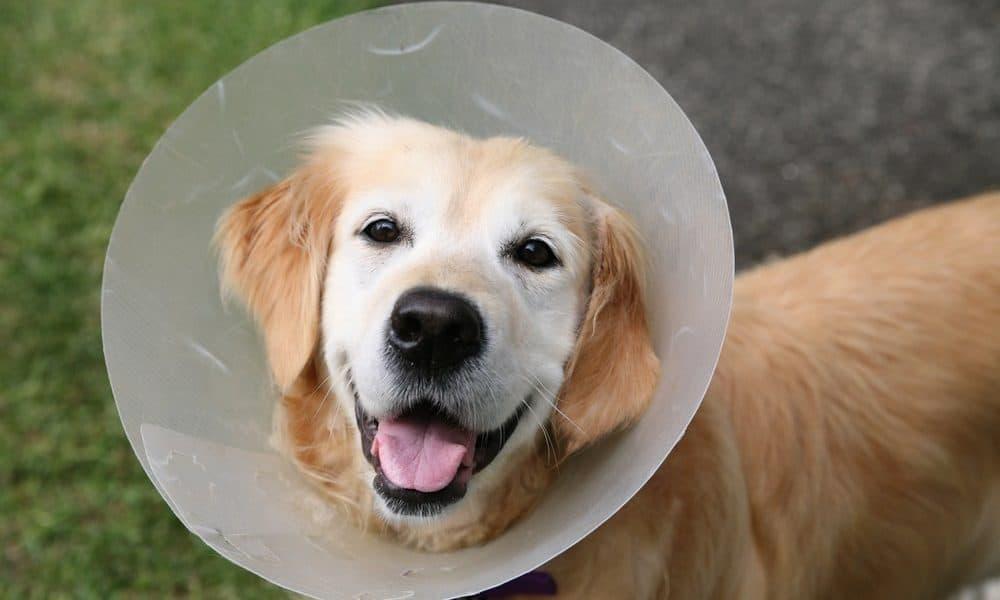 Hotspots ( Acute Moist Dermatitis ) In Dogs