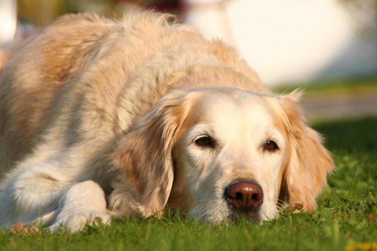 Lick Granuloma In Dogs