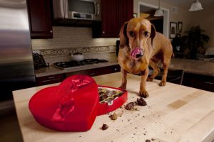 Is chocolate a treat for your pet or a reason to worry?