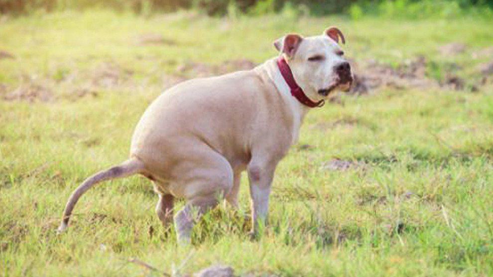 Giardiasis In Dogs