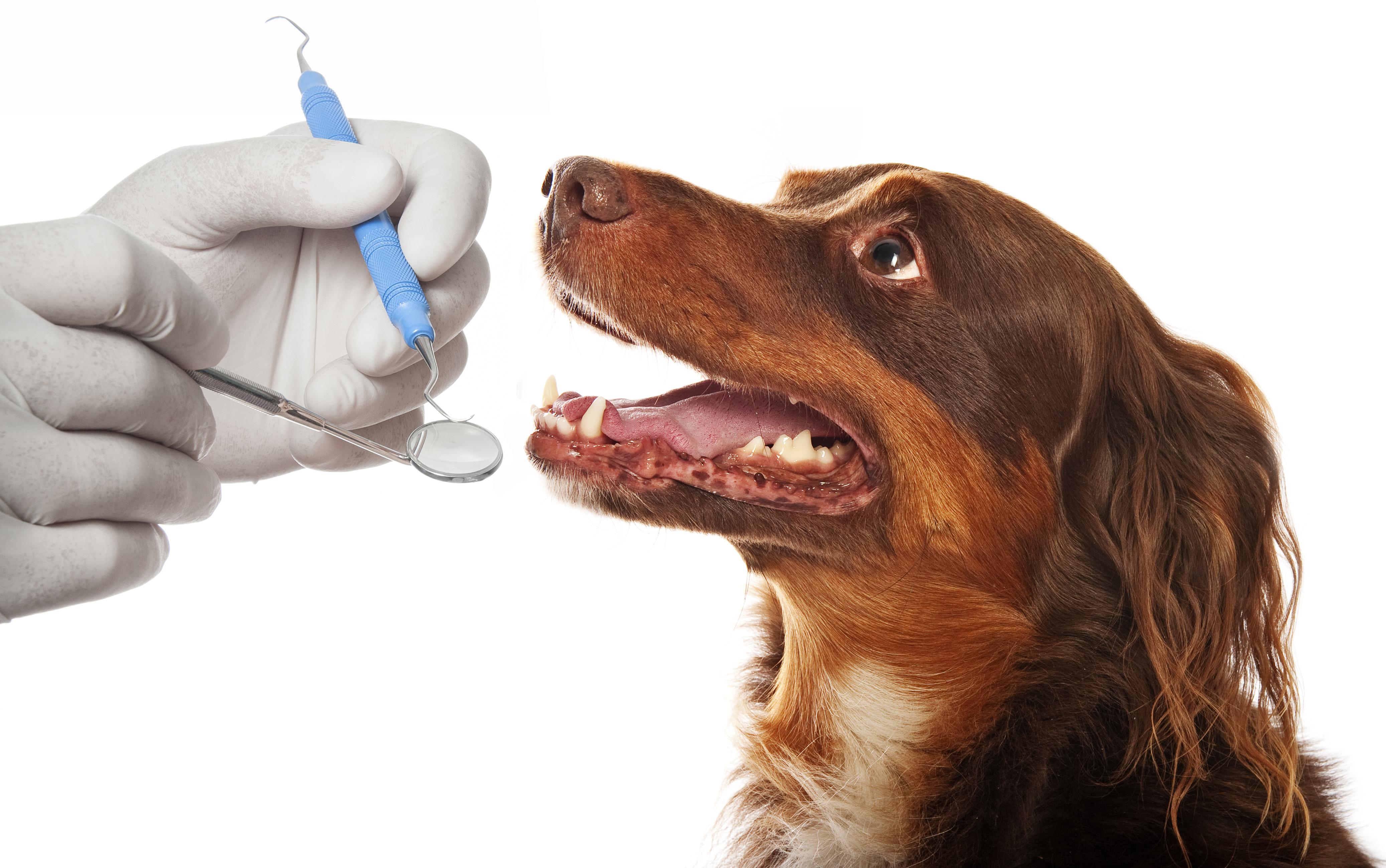 Dental Diseases In Dogs