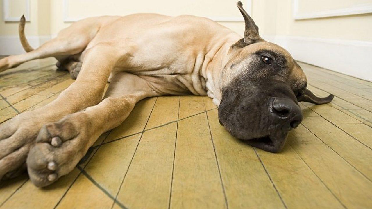 Bloat In Dogs
