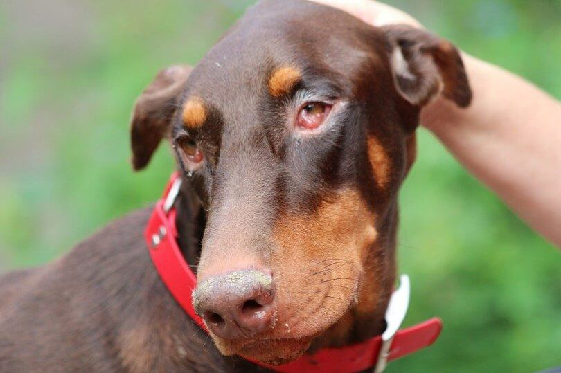 Conjunctivitis In Dogs