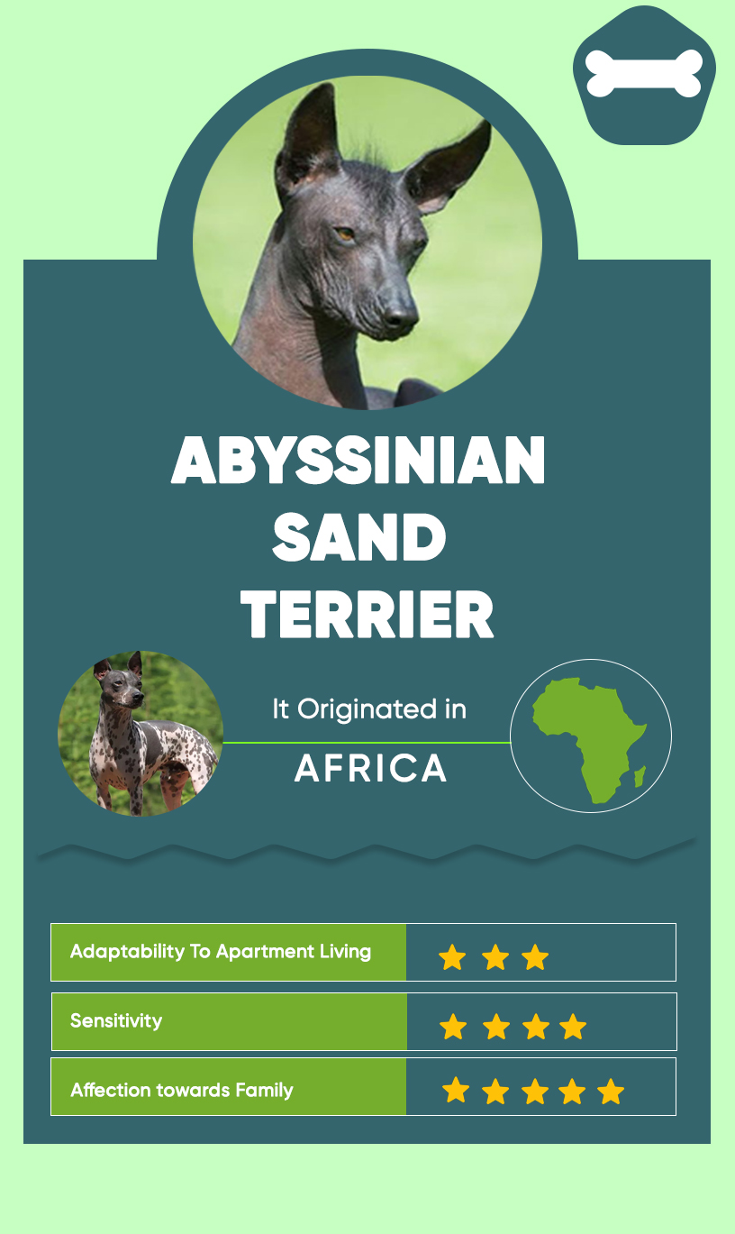 Abyssinian Sand Terrier